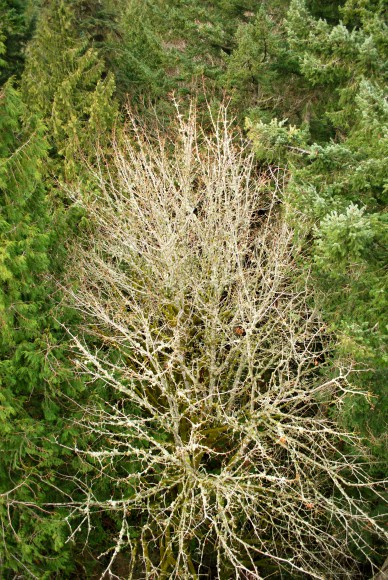 Looking down at the tops of trees from the Canopy Tower at IslandWood on Bainbridge Island - Jen Pells