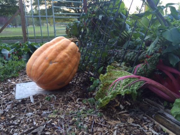 Pumpkins on Bainbridge Island