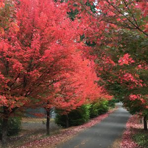 Fall Colors on Bainbridge Island